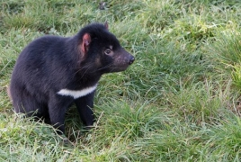 Tasmanian devils adapting to coexist with cancer: study