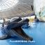Ученые: Дельфинам грозит полное вымирание