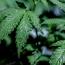 Marijuana use among baby boomers rose tenfold over decade