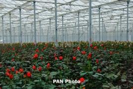 Գողթում  տարեկան 25 տեսակի 11 մլն վարդ է աճեցվում