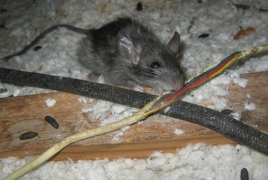Rat infestation plagues town in New Zealand