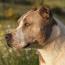 В РФ утвердили список потенциально опасных пород собак