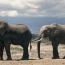 Աֆրիկյան փղերի վաճառքը գազանանոցներին ու կրկեսներին արգելվել է