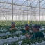 Investments in Armenia's greenhouses bear fruit