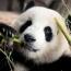 В Китае намерены клонировать панд