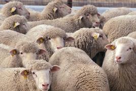 Երևանում խոզերն ու ոչխարները շատացել են