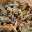 Չարաշահումներով արդյունագործական որսի արդյունքում Սևանում խեցգետնի պոպուլյացիան վտանգվել է