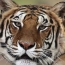 New York zoo tiger tests positive for coronavirus