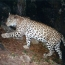 Leopard spotted in northern Armenian province for 1st time in 50 years