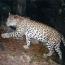 В Тавушской области Армении впервые за полвека обнаружен леопард