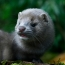The Netherlands to test minks as Covid-19 culprits