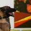 Исследование: Собаки могут определять коронавирус по запаху