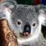 Коалы в австралийском Новом Юж. Уэльсе могут вымереть через 30 лет
