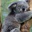 Ավստրալիայում հատում են կոալաների՝ հրդեհներից փրկված բնակավայրերը