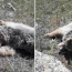 ՇՄՆ․ Գորշ արջի քոթոթի սպանության մասով գրություններ կուղարկվեն ոստիկանություն