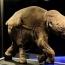 До конца века могут исчезнуть 558 видов млекопитающих