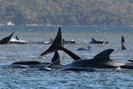 Ավստրալիայում հարյուրավոր կետեր ափին են հայտնվել