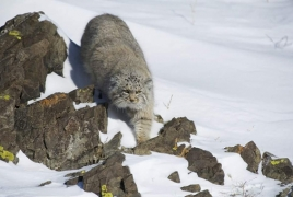 Manul spotted in Armenia for the first time in 100 years