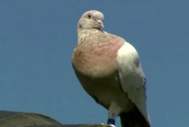 Австралийского голубя Джо не убьют: Он оказался местным, а не нелегалом