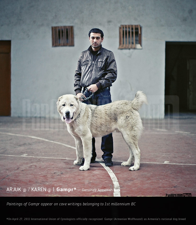 Armenian Gampr Dog Puppies For Sale