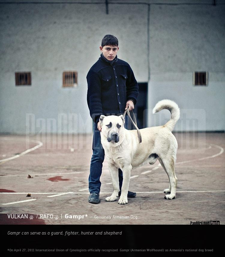 Գամփռ. Զտարյուն հայկական շուն