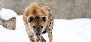 Animals wintering in Yerevan