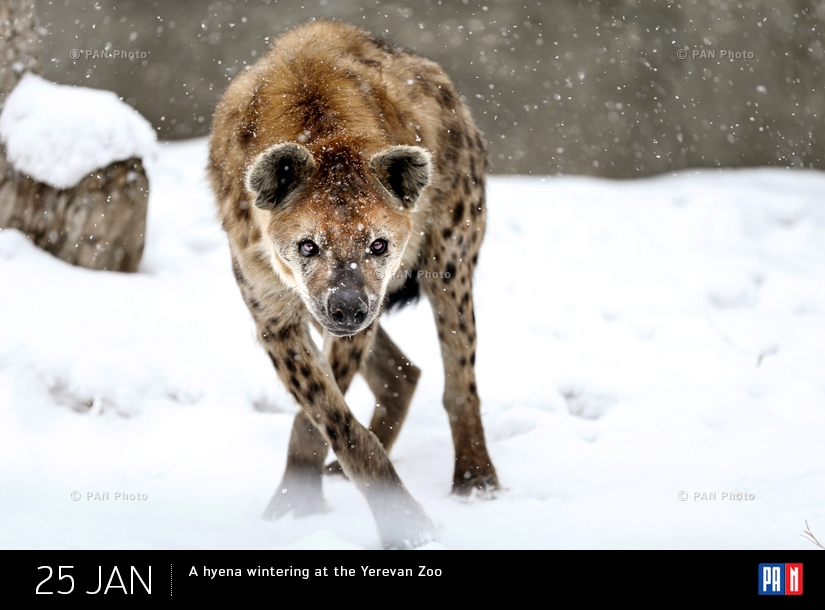 A hyena wintering at the Yerevan Zoo