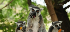 Lemurs brought to Yerevan zoo displayed for the first time