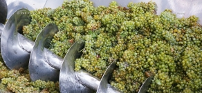 Yerevan Brandy Company launches grape purchase in Armavir branch